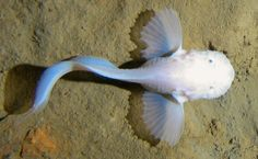 New fish species found in the Marianas Trench at 8,200 feet. Believed to be a type of snailfish.