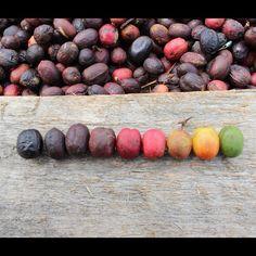 rainbow of coffee cherries! photo by madcapcoffee