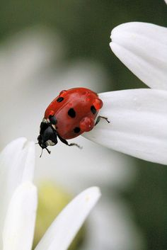 LADYBUGS / LADYBUG YARD IDEAS / RAISING LADYBUGS : More At FOSTERGINGER @ Pinterest