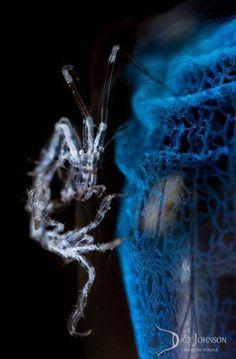 Skeleton Shrimp - by Dave Johnson #reef #coralreef #ocean #seahorse #pods…