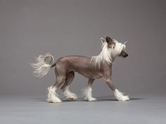 """""""This friggin hair in my eyes is pissin me off"""" - Chinese crested"""