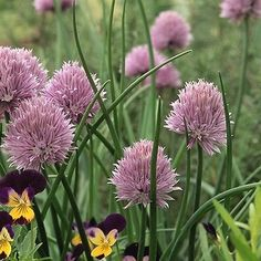 100+ Chives Common Herb Seeds , Under The Sun Seeds