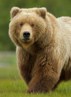Big beautiful teddy bear----what idiots want to shoot these magnificent creatures for sport???