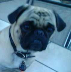 Dude, the Pug. He loves training and treats!