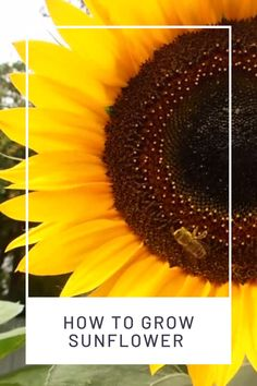 Learn about sunflower varieties and how to grow sunflowers on flower beds and backyards. Growing Sunflowers, Planting Sunflowers, Sunflowers And Daisies, Bright Flowers, Yellow Flowers, Spring Flowers, Beautiful Flowers, Sun Flowers, Sunflower Garden