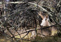 Find These 6 Types of Deer Beds to Zero In On Big Bucks www.usatrophyhunts.com