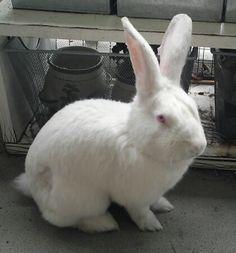 Fiorello Bunny New Zealand Rabbit | New York NY