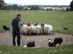 So cute! Sheepdogs in scotland