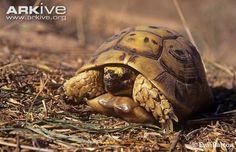 Afghan tortoise videos, photos and facts - Testudo horsfieldii ...