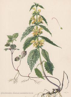 Vintage Botanical Print Lamium galeobdolon yellow archangel