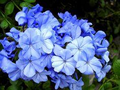 flores imagens, papéis de parede plyumbago, azul vetor, flor de fundos, close-up materiais
