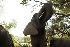 A unique perspective on the elephant whilst on a walk Kruger National Park, African Elephant, Lonely Planet, Elephants, Travel Guide, South Africa, Perspective, Wildlife, Unique