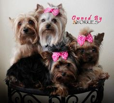 All About Yorkshire Terrier Haircut Toys Yorkies, Yorkie Puppy, Toy Puppies, Cute Puppies, Cute Dogs, Yorkshire Terrier Haircut, Yorkshire Terrier Puppies, Schnauzers, Shih Tzu