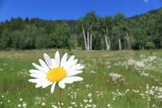 Daisies at Caribou Ranch Open Space, CO