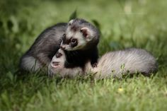 Ferret love by Anna Terekhova.  love this picture!!