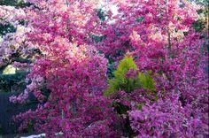 Malus Coccinella Courtarou in Ábaton gardens