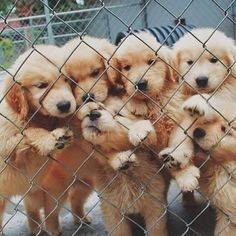 I'll take all of them please!! Baby Golden Retrievers!!!