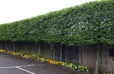 Pleached Trees for above fence screening                              …