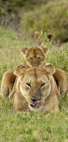 lioness and baby lion (Come any closer and we will eat you.)