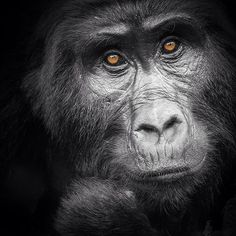 That moment when you realize that there is intelligence there... We were in the #BwindiImpenetrableForest in #Uganda with @wild_frontiers photographing #Gorillas for our #AfricanIcons #book. This young female came over to where I was lying on the ground shooting pics and lay on her stomach smiling at me. We must have spent about 10 minutes interacting with each other before our guide said it was time to go. Pity! #special #gorilla #africa #african #bwindi #nikond800 #nikon Primates, That Moment When, Young Female, When You Realize, Uganda, Nikon, Photographers, African, Photo And Video