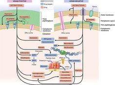 Výsledek obrázku pro penicillin mechanism of action