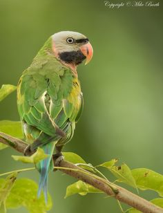 Red-breasted Parakeet (Psittacula alexandri) by Mike Barth http://focusingonwildlife.com/news/wildfocus/featured/img_0374/