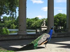 Warsaw Lazienki palace peacock