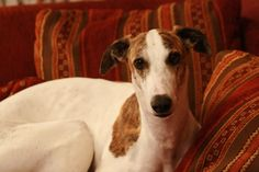 Farkas von Salomon Maja Magyar Agar, Italian Greyhound, Greyhounds, Whippet, Pet Dogs