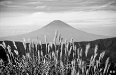 Susuki (Silver Grass) with Fuji-san background - Hans ter Horst Film Photography
