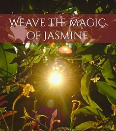 Herb Analysis, <b>Jasmine</b>: The Divine gift of love, happiness and attraction