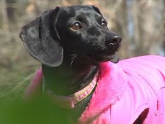 Hannah Marie,from Slaughter, Louisiana, was saved from being carried off by a hawk when her elderly owner stretched and grabbed her back legs.