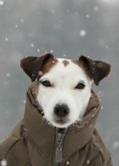 Sweet jack Russell terrier