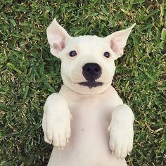 """""""This little cutie is named Pollywaffle and she is about 9 weeks old, and 100% deaf. She is currently being fostered by @lifeofpikelet and will be…"""""""
