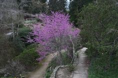 Cercis occidentalis—western redbud. Regional Parks Botanic Garden Picture of the Day. 10 Mar 2016