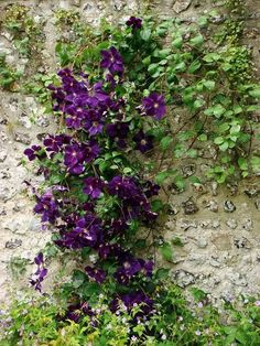 and/or any clematis in shades of white, pink, or purple.double flowers are very pretty Purple Garden, Green Garden, Shade Garden, Garden Plants, Pergola Swing, Pergola Shade, Pergola Ideas, Pergola Patio, Pergola Kits