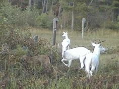 Boulder Junction, WI ~ Wild Albino Deer of Northern Wisconsin Boulder Junction, Albino Deer, White Spirit, House On The Rock, Forest Friends, Oh Deer, Deer Hunting, Bouldering, More Photos