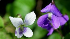 Close-up of white and purple violet (viola) flowers surrounded by lush green leaves. Shot with a macro lens. - HD stock video clip