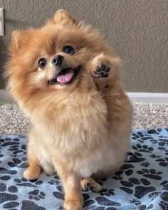Cute Baby Dogs, Cute Dogs And Puppies, Pet Dogs, Cutest Dogs, Bulldog Puppies, Black Pomeranian, Cute Pomeranian, Pomeranian Haircut, Micro Pomeranian