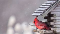 New Photo: Cardinal In Snow