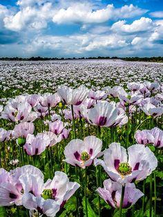 Poppies bloom, Hampshire, UK