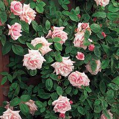 Kathleen Harrop climbing rose