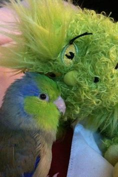 Parrotlet and the Grinch