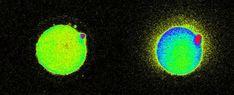 La chispa de la vida: captan luz que se libera justo cuando un esperma se encuentra con un óvulo (VIDEO)