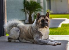Facts on Akitas Akitas come in two  American &...