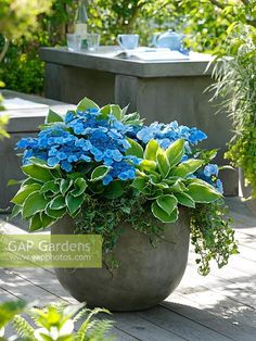 Container planting of Hydrangea 'Blue Wave', Hosta fortunei 'Francee' and Hedera