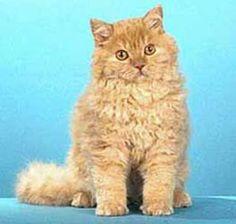 Selkirk Rex - SO fluffy! Selkirk Rex, Cat Breeds List, All Cat Breeds, Cornish Rex, Pension Pour Chat, Oregon, Rex Cat, Cat Boarding, British Shorthair