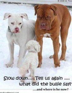 Cute. :) I do love my bully breed.