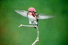 Cuba's Smallest Bird - The Bee Hummingbird | Planet Photography - Fotorimo