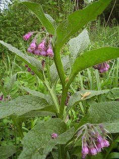 La consoude appelée aussi plante engrais, contient en particulier de l'allantoïne, de la vitamine B12 et des hormones naturelles qui favorisent la croissance, la floraison et la fructification des plantes. C'est un véritable trésor du jardin. La consoude est très connue du monde du jardinage naturel et de l'agriculture biologique. On l'utilise surtout comme engrais verts bio, et pour fabriquer le fameux purin de consoude.