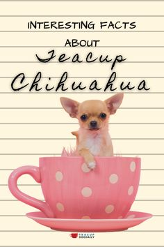 Chihuahuas that are called Teacup Chihuahuas are smaller sized versions of the original dog, #teacupdogs #chihuahua #chihuahuamix #cutedogs #smalldogs Teacup Chihuahua, Chihuahua Mix, Yorkie, Mini Dogs Breeds, Dog Breeds, Chihuahua Information, Chi Dog, 8 Facts, Maltipoo